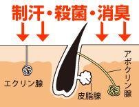 アポクリン腺と皮脂腺